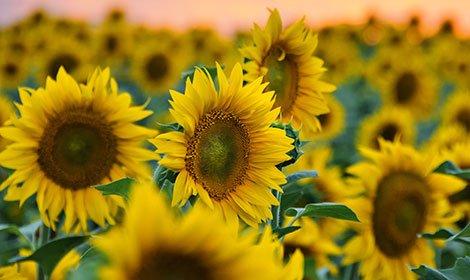 Семена подсолнечника, Українське сонечко (90–95 дн), Гибрид
