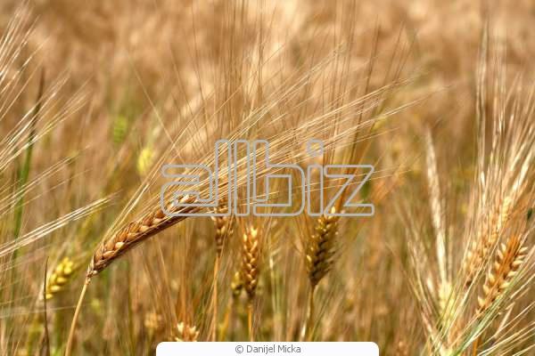 Купить Зерно пшеницы