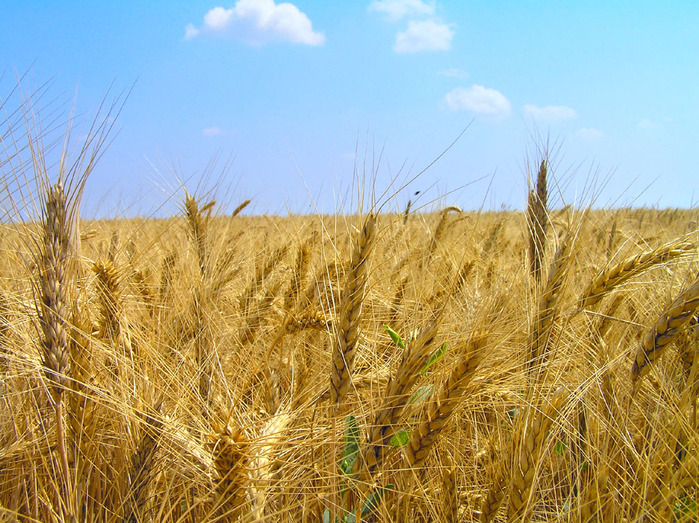 Купити Жито озиме Хамарка