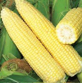Кукуруза сахарная Сигнет F1 (супер ранняя) 5000с