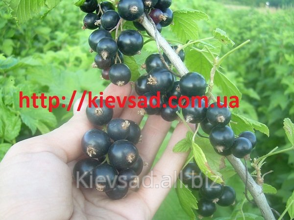 I will sell currant Saplings