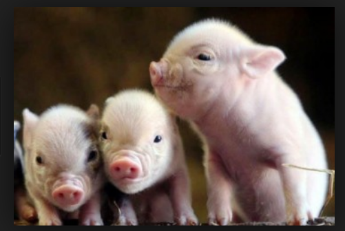 Buy Concentrates for pigs of BVMD, additive for pigs