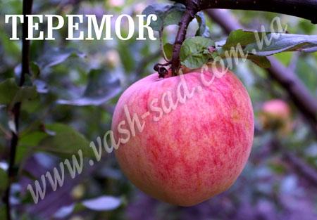 Купить Яблуня середнього строку достигання Теремок