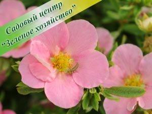 Buy Frut.Lovely Pink cinquefoil