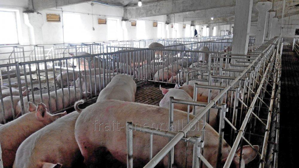 Buy The machine for keeping of suporosny sows by groups