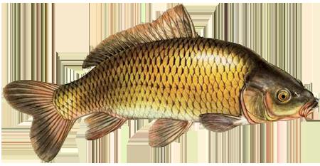 Рыба товарная Карп, белый амур, толстолоб