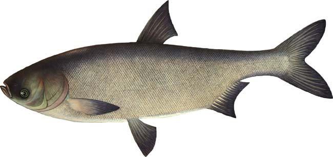 Толстолобик 1,5-2,5 кг, рыба товарная