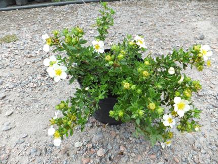 Растения материал посадочный