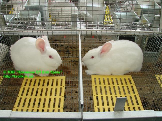 продам кроликов для разведения Термонская белая