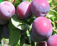 Деревья фруктовые (слива Персиковая)