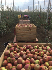 Apples fresh from the producer wholesale