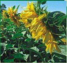 Sunflower seeds Venice Serbia