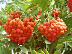 Mountain ash Red