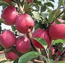 Саженцы яблони Ревена