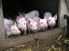 Комбикорма для свиней старт от 20-35кг. Продажа.