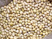Соя семена Алмаз