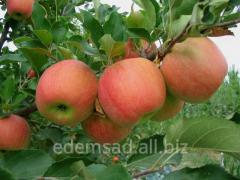Саженцы яблони Чемпион