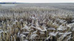 Seeds of winter barley, grade Worthy