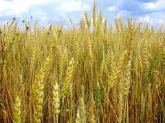 Рожь озимая, пшеницы, ячмень продажа
