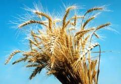 Пшеница зерно продам оптом