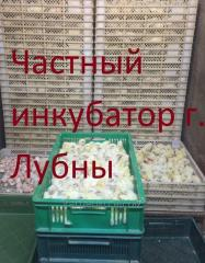 Цыплята-бройлеры КОББ 500 , РОС 308