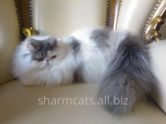 Kittens Persian extreme type, a cat the Persian