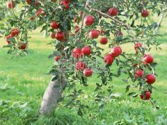 Яблоки летних и осенних сортов