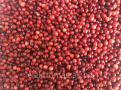 I will sell fresh Cranberry (zhuravlin)