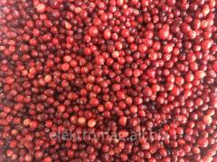 Las Bayas rojas del Norte frescas