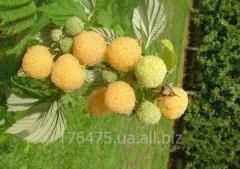 Саженцы малины Утренняя роса