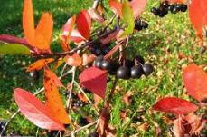 Рябина черноплодна