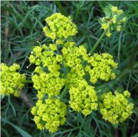 ESSENTIAL OIL OF FENNEL (Foeniculum vulgare)