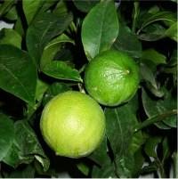 ESSENTIAL OIL OF THE BERGAMOT (Citrus bergamia)