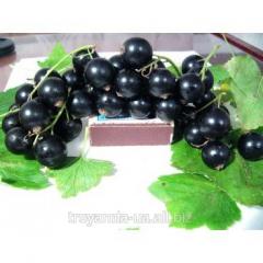 Currant sapling black Premiere