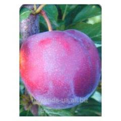 Sapling Cherry plum General