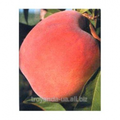 Peach sapling Fleming Fury