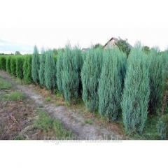 Blue Arow juniper sapling
