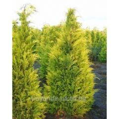 Sapling of cypress of Lavson Ivonne