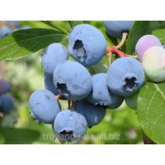Blueberry sapling Blyukrop