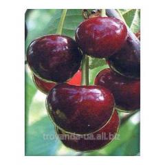 Cherry sapling Nigh