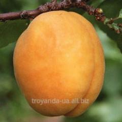 Apricot sapling Pineapple