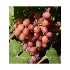 Grapes sapling Anyuta