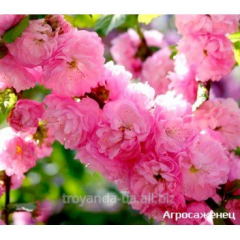 Oriental cherry sapling