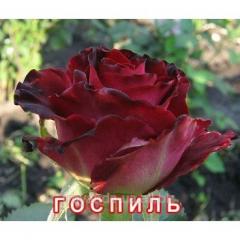 Саженец  розы Госпиль