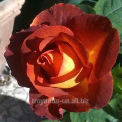 Break Coffee rose sapling