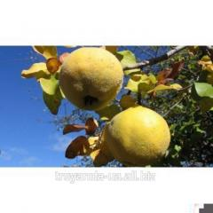 Quince sapling