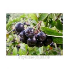 Chokeberry sapling
