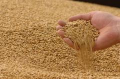 We buy Wheat fodder.