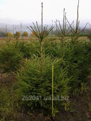 Fir-tree European (Latin Pícea ábies)