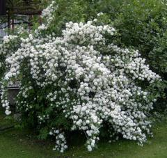 Декоративные растения, Чубушник (жасмин)